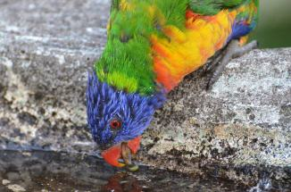 Lorikeet, New Zealand