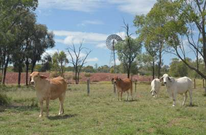 Cattle, Australia