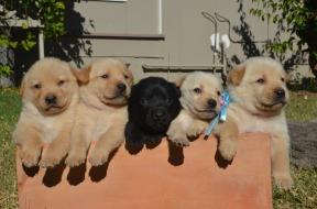 Puppies, Australia