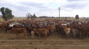 Cattle in yard
