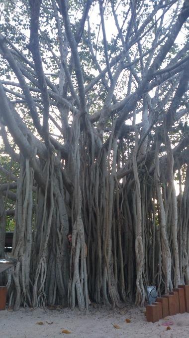 Fig Tree, Australia
