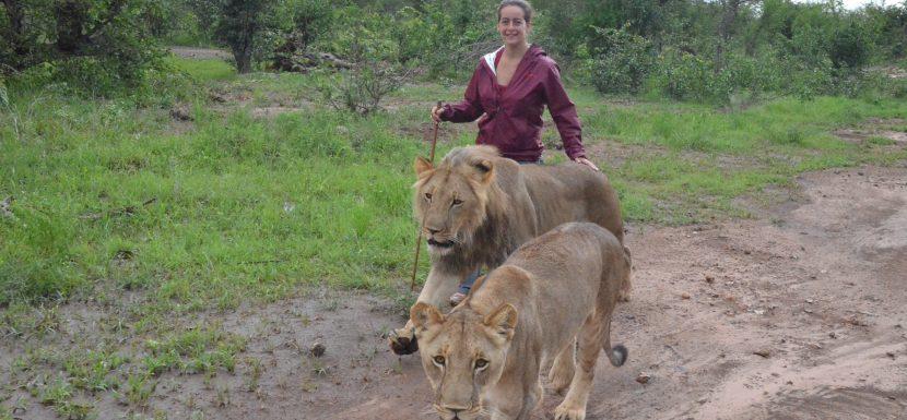 Zimbabwe Lion Encounter